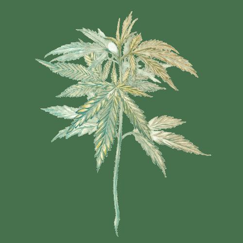 plante de chanvre fleur de cbd huile